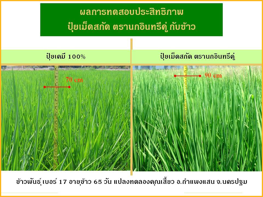 Comparison between Extracted fertilizer and Chemical Fertilizer in Rice
